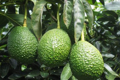 Growing Avocado's